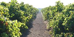 Oentourisme Béziers pour découvrir les vins, les terroirs, les vignerons et les exploitations viticoles.(® SAAM-fabrice Chort)